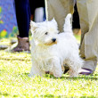 West Highland White Terrier — Foto Stock