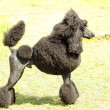 Standard Poodle — Photo
