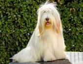 Bearded Collie — Stockfoto