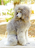 Miniature Poodle — Stock Photo