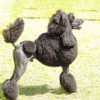 Standard Poodle — Stock Photo