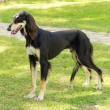 Saluki — Stock Photo