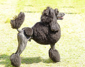 Standard Poodle — Stock Photo