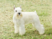 Miniature Schnauzer — Stock Photo