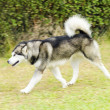 Alaskan Malamute — Stock Photo