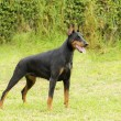 Stock Photo: DobermPinscher