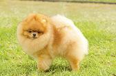 Pomeranian dog — Stock Photo