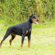 DobermPinscher — Stock Photo #34037473