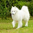 Samoyed — Stock Photo #34272737
