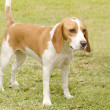 Istrian Shorthaired Hound — Stock Photo