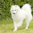 Samoyed — Stock Photo #34458047