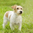 Jack Russell Terrier — Stock Photo #34530617