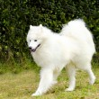 Samoyed — Stock Photo #34531895