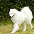 Stock Photo: Samoyed