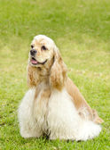 American cocker spaniel — Stockfoto