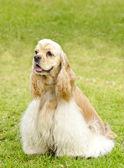 美国可卡犬 — 图库照片
