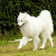 Samoyed — Stock Photo #34557213