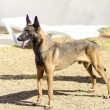 Belgian Shepherd Dog (Malinois) — Stock Photo
