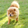 Chow Chow — Stock Photo