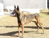 Belgian Shepherd Dog (Malinois) — Stock Photo