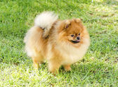 Pomeranian dog — Stockfoto