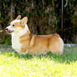 Stock Photo: Welsh Corgi Pembroke