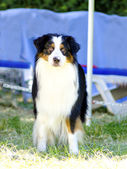 Australian shepherd dog — Stockfoto