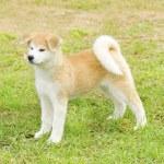 Akita inu — Zdjęcie stockowe #35230969