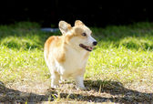 Welsh Corgi Pembroke — Stock Photo