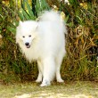 Samoyed — Stock Photo