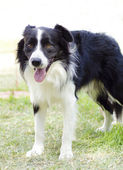 Border Collie — Stockfoto