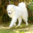 Samoyed — Stock Photo #35643475