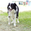 Border Collie — Stock Photo #35776507