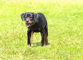 Rottweiler dog — Foto Stock
