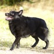 Stock Photo: Schipperke