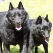 Stock Photo: Schipperkes