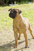Bullmastiff dog — Stock Photo