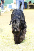 Giant Schnauzer — Stock Photo