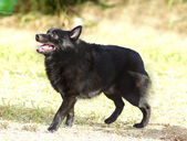 Schipperke — Stock Photo