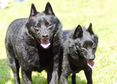 Schipperkes — Stock Photo