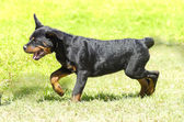 Rottweiler dog — Foto de Stock