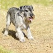 Standard Schnauzer — Stock Photo