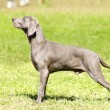 Weimaraner dog — Stock Photo