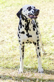 Dalmatian dog — Stock fotografie