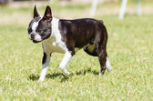 Boston terrier — Foto de Stock
