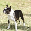 Boston terrier — Stock Photo #36574567