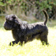Affenpinscher dog — Stock Photo