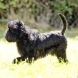 Stock Photo: Affenpinscher dog