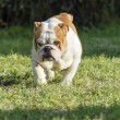 English Bulldog — Stock Photo #37024665