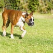 Boxer dog — Stock Photo